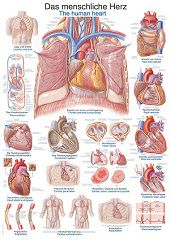 Anatomie poster hart (Duits/Engels/Latijn, kunststof-folie, 70x100 cm)