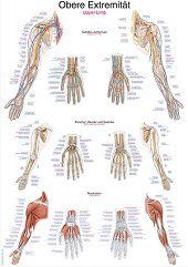 Anatomie poster bovenste extremiteit (papier, 50x70 cm)