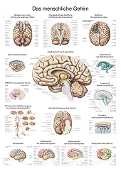 Anatomie poster hersenen (kunststof-folie, 70x100 cm)