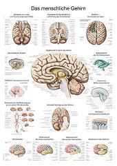 Anatomie poster hersenen (papier, 50x70 cm)