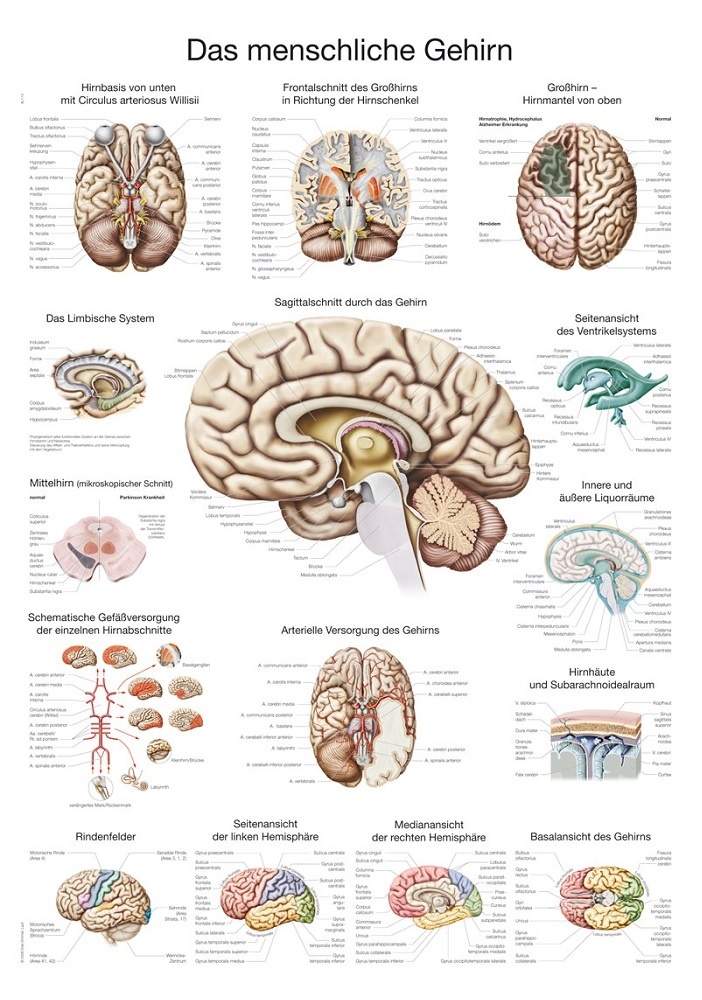 anatomieposter / anatomie poster - Hersenen poster (70x100 cm)