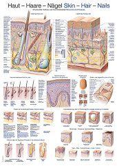 Anatomie poster huid, haar en nagels (Duits/Engels/Latijn, kunststof-folie, 70x100 cm)