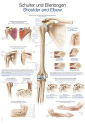 Anatomie poster schouder en elleboog (Duits/Engels/Latijn, papier, 50x70 cm)