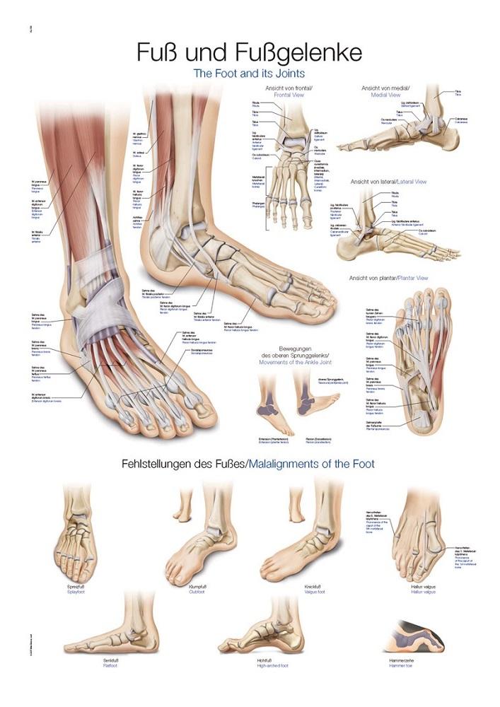 anatomieposter / anatomie poster - voet en voetgewrichten poster ...
