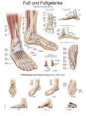 Anatomie poster voet en voetgewrichten (Duits/Engels/Latijn, papier, 50x70 cm)  + ophangsysteem