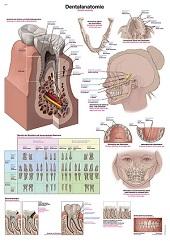Anatomie poster gebit en tanden (Duits/Engels/Latijn, kunststof-folie, 70x100 cm)