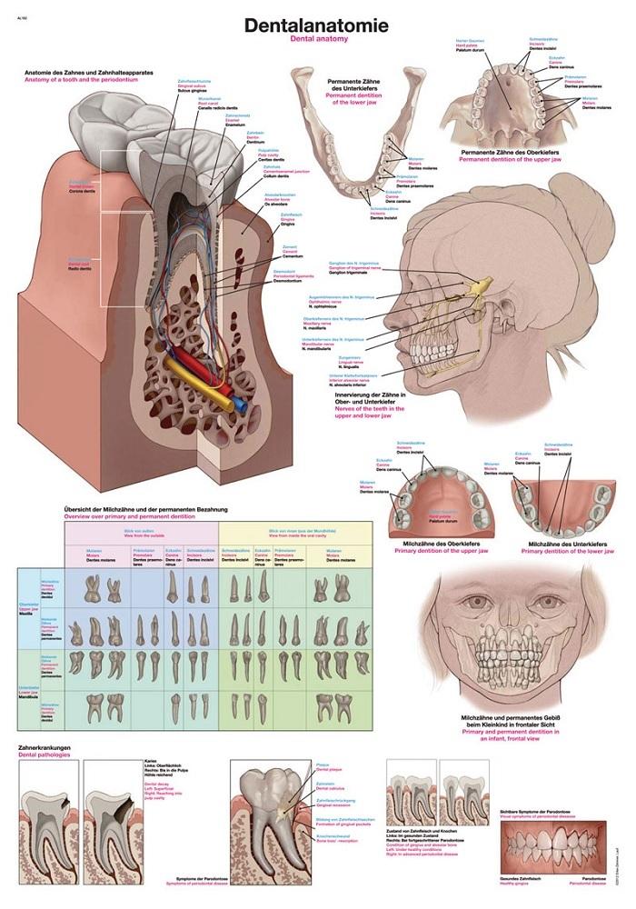 anatomieposter / anatomie poster - Gebit/tanden (70x100 cm)