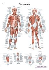 Anatomie poster spieren (Nederlands/Latijn, papier, 50x70 cm)