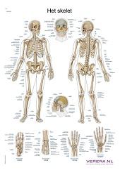 Anatomie poster skelet (Nederlands/Latijn, papier, 50x70 cm) + ophangsysteem