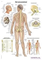 Anatomie poster zenuwstelsel (Nederlands/Latijn, papier, 50x70 cm)