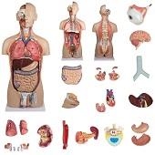 Anatomie model torso met organen, tweeslachtig, 27-delig, 88 cm