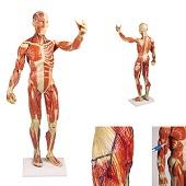 Anatomie model spieren, 62 cm