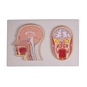 Anatomie model hoofd (55x35x3 cm, doorsnede)