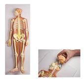 Anatomie model zenuwstelsel (90x31x12 cm)