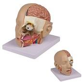 Anatomie model hoofd (21x15x16 cm, 4-delig)