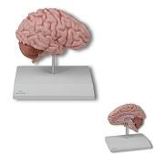 Anatomie model hersenen, rechter hersenhelft