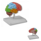 Anatomie model hersenen, rechter hersenhelft functioneel