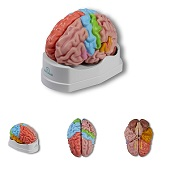 Anatomie model hersenen, regionaal en functioneel, 5-delig