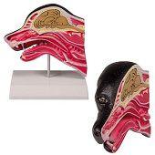 Anatomie model hoofd hond doorsnede, 17x15x6 cm