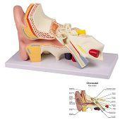 Anatomie model oor, 4-delig, 32x19x13 cm
