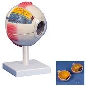 Anatomie model oog (6-delig - doorsnede 15cm)