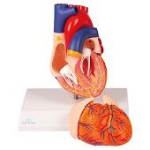 Anatomie model hart met prikkelgeleidingssysteem, 2-delig, 14x8x8 cm