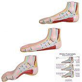 Anatomie model voet mini (normale voet, platvoet en holvoet)