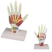 Anatomie model hand en pols