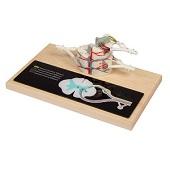 Anatomie model ruggenmerg, ruggenmergzenuwen en segment, 35,5x27x27 cm