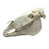 Anatomie model paardenschedel