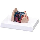 Anatomie model hart en longen kat