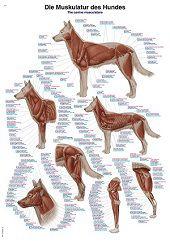 Anatomie poster spieren hond (papier, 50x70 cm) + ophangsysteem