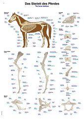 Anatomie poster skelet paard (kunststof-folie, 70x100 cm)