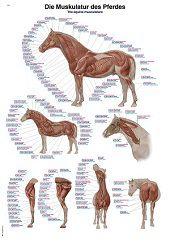 Anatomie poster spieren paard (papier, 50x70 cm) + ophangsysteem
