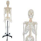 Anatomisch model menselijk skelet, 180 cm