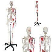 Anatomie model menselijk skelet met origo en insertie van spieren, 175 cm