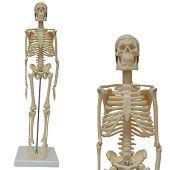 Anatomie model menselijk skelet, 45 cm