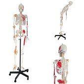 Skelet<br/>(met origo / insertie van spieren en ligamenten, 175 cm, ware grootte, flexibel)