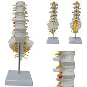 Anatomie model lumbale wervelkolom en heiligbeen, 13x28 cm