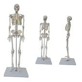Anatomie model menselijk skelet, 85 cm