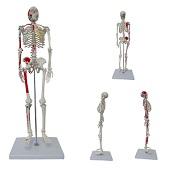 Anatomie model menselijk skelet met origo en insertie van spieren, 85 cm