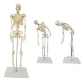 Anatomie model menselijk skelet met ruggenmergzenuwen, flexibel, 85 cm
