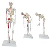Anatomie model menselijk skelet met origo en insertie van spieren, flexibel, 85 cm