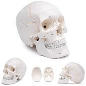 Anatomie model schedel, genummerd (3-delig)