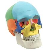 Anatomie model schedel, gekleurd, 3-delig