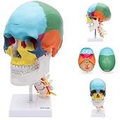 Anatomie model schedel met cervicale wervelkolom
