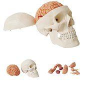 Anatomie model schedel met hersenen, 10-delig