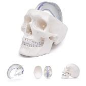 Anatomie model schedel met dura mater