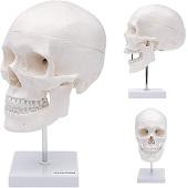 Anatomie model schedel op standaard (3-delig)