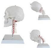 Anatomie model schedel met flexibele cervicale wervelkolom